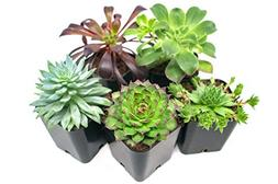Succulent Plants , Fully Rooted in Planter Pots with Soil -